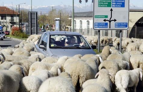 torino-sheep-1