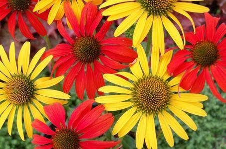 Echinacea Plants Home Depot