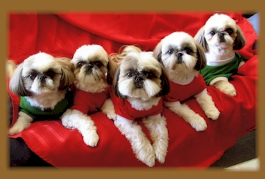 One year old Shih Tzu in need of new home | Rhyl ...  |Shitzu Puppies New Years Eve