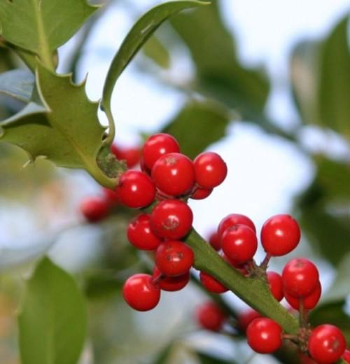 holly_berries