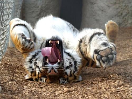 happy-rolling-tiger