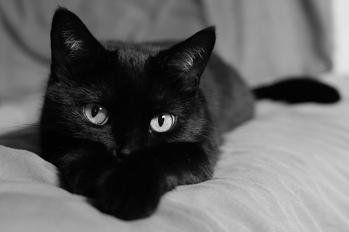 Adopt Black Cat In Black Friday
