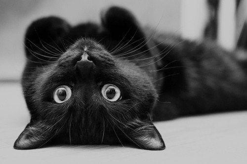 Adopt A Black Cat Toronto